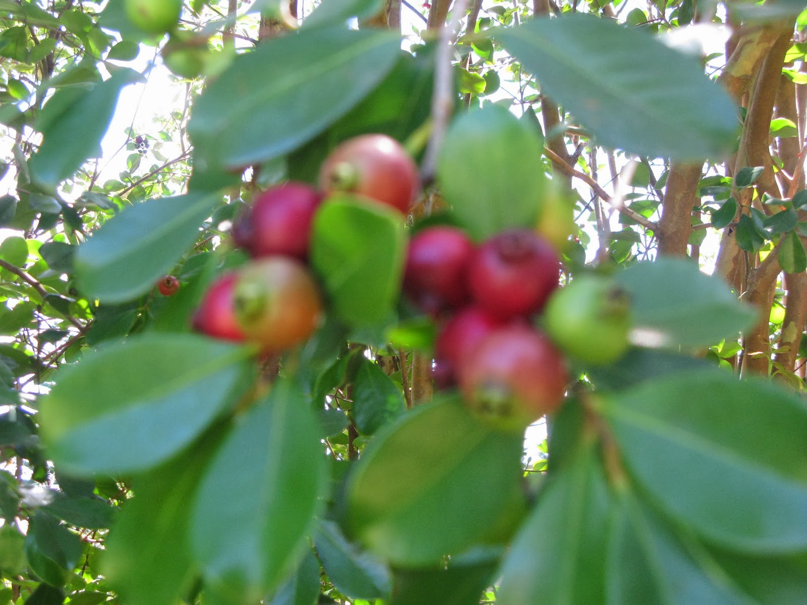 Lots Of Norfolkers Make Guava Jelly When It Is Porpay Season It Is So Easy  To