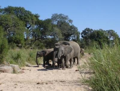 African-Elephant-Kruger-Park
