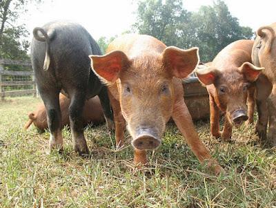 pigs, livestock