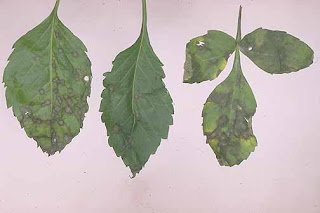 Dahlia leaves with fungal infections