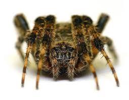 Barn Spider image