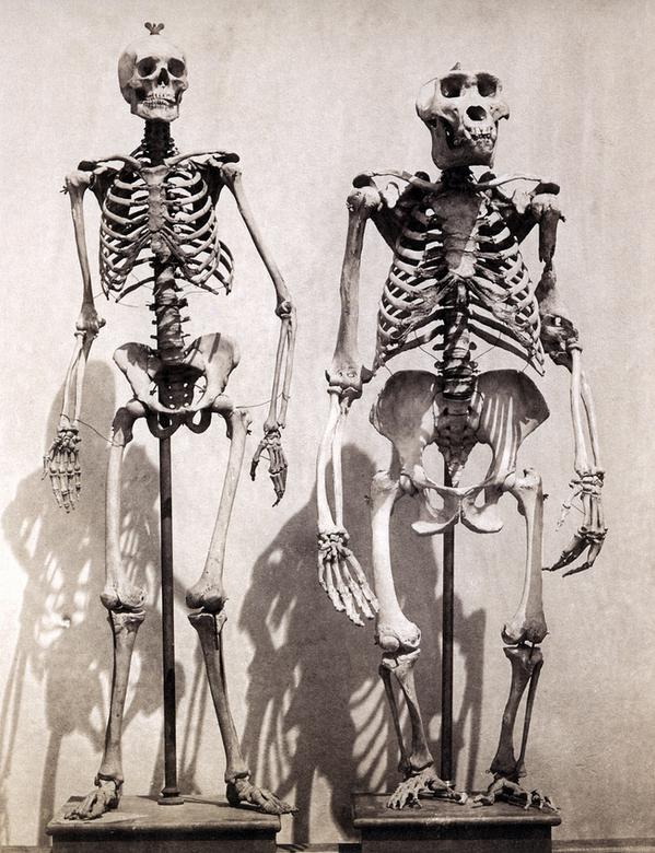 Skeleton of a Human and a Gorilla & Robs Webstek: Skeleton of a Human and a Gorilla 25forcollege.com