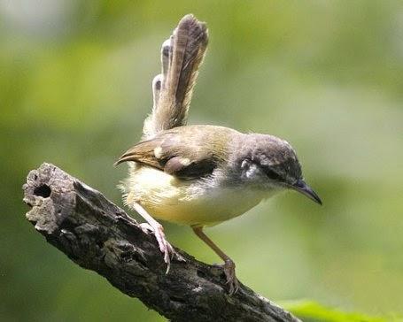 Gambar Cara Merawat Burung Bangcit