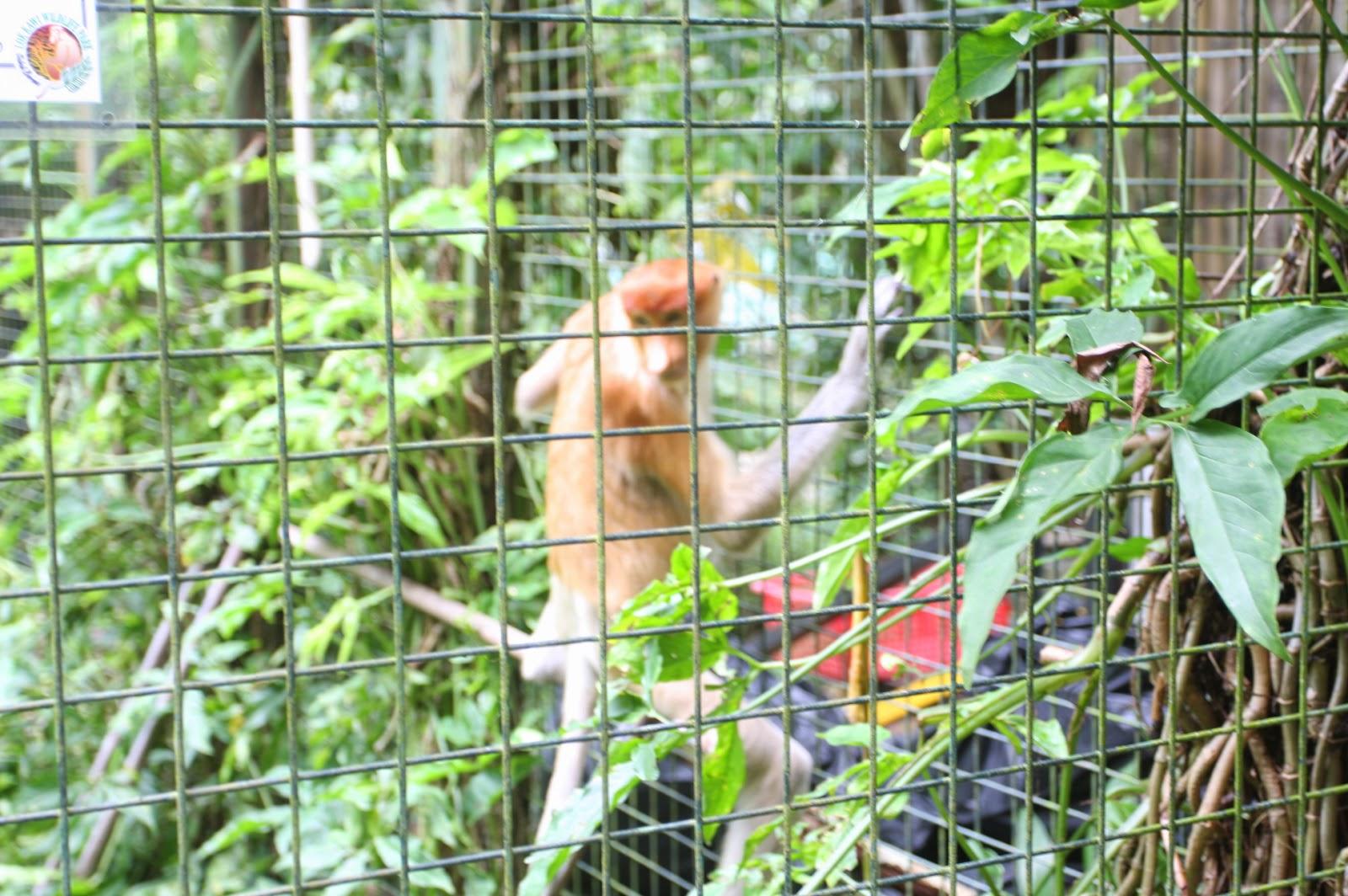 foto hewan - gambar monyet kelakar