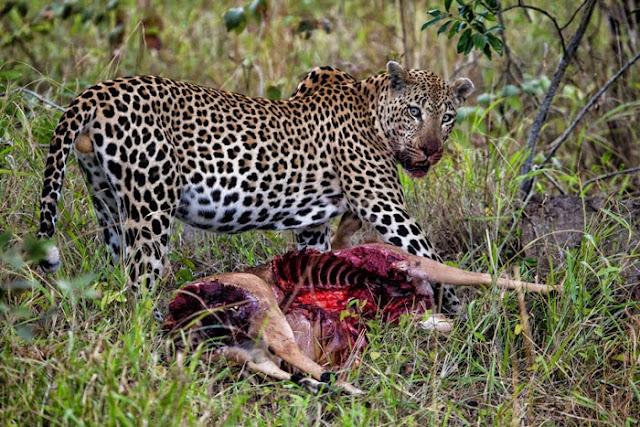 الفهد يحاول سحب الظبى
