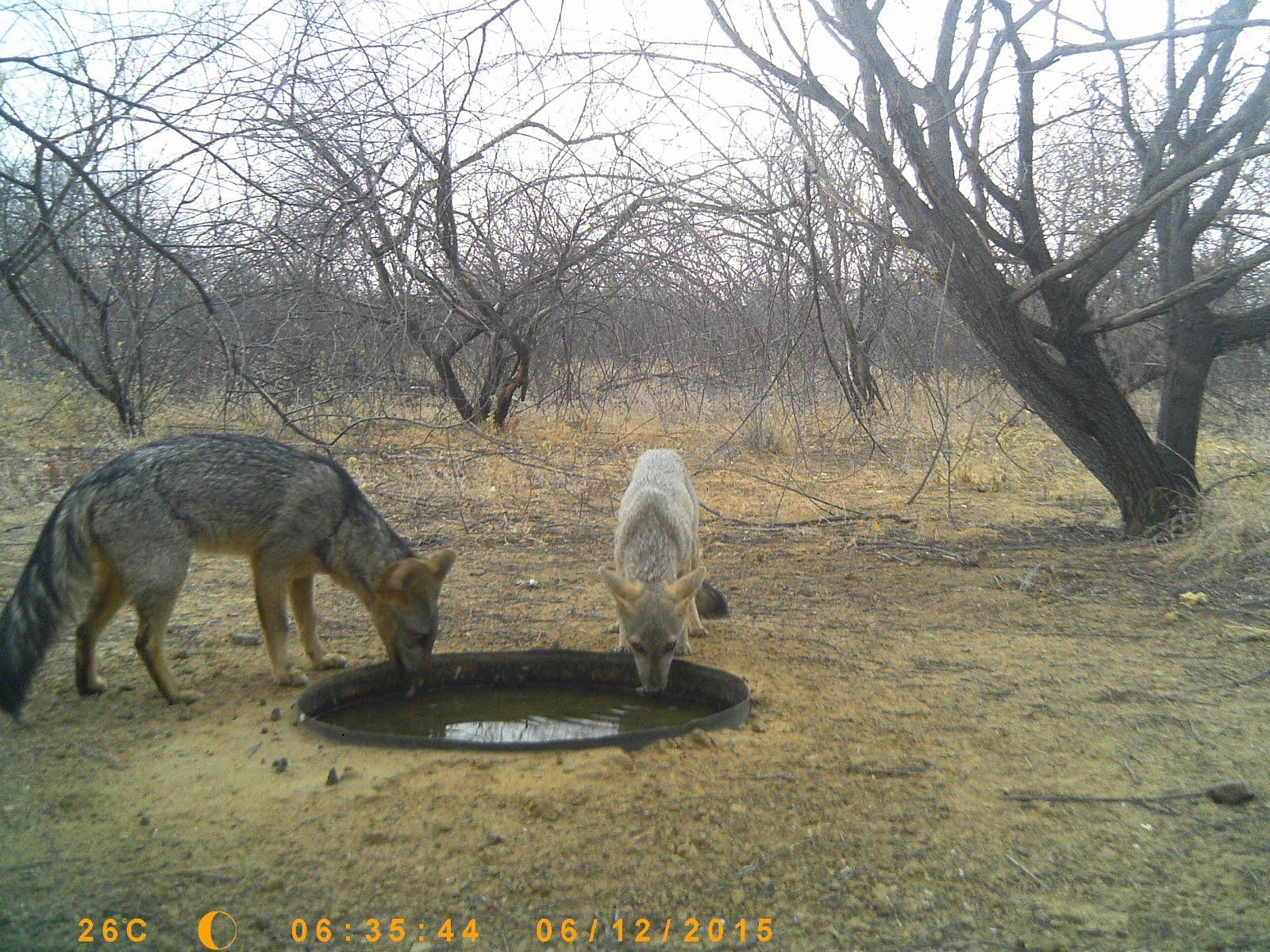 A raposa bebendo água