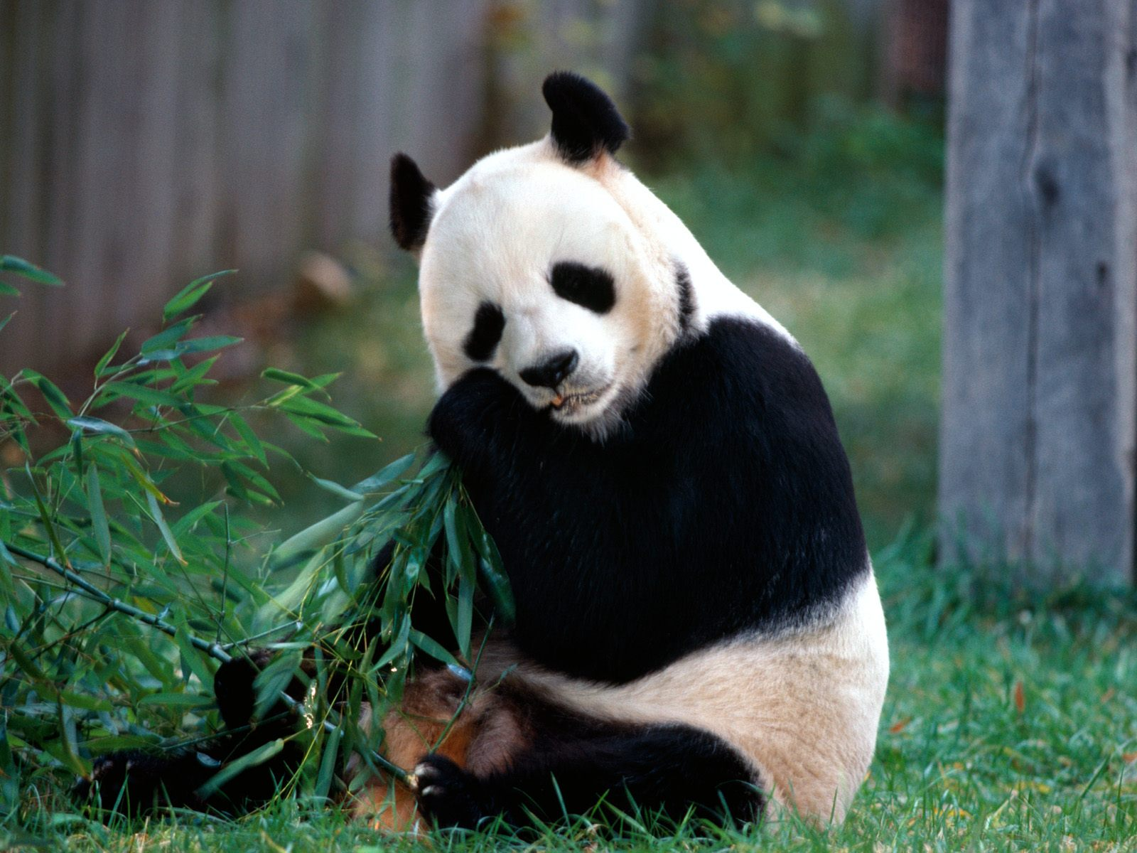 ENCYCLOPEDIA OF ANIMAL FACTS AND PICTURES: PANDA ENDANGERED ANIMALS