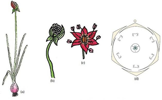 Ratna dewi wulaningsih tumbuhan tumbuhan allium cepa bawang a tanaman b perbungaan c bunga d diagram bunga anand 2010 ccuart Images