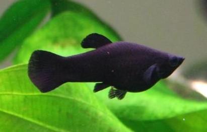 black molly black sailfin molly black lt molly dalmation lyretail