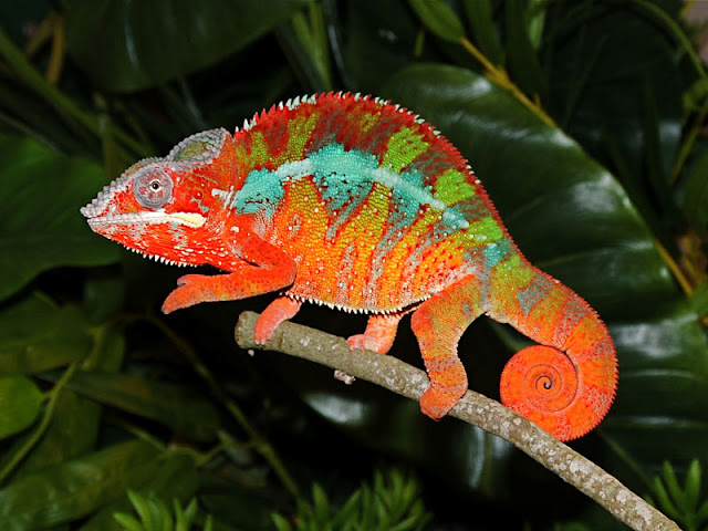 Daily Protein Science: Panther chameleon Amazing Pets.