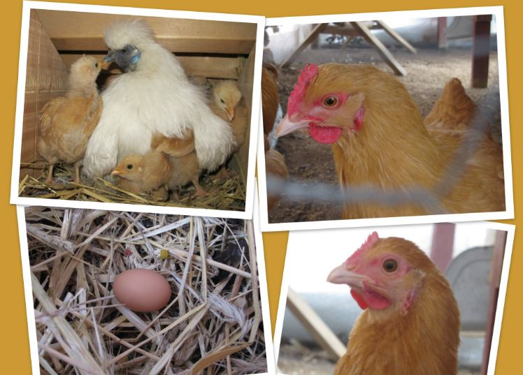 Chicken laying egg close up - photo#12