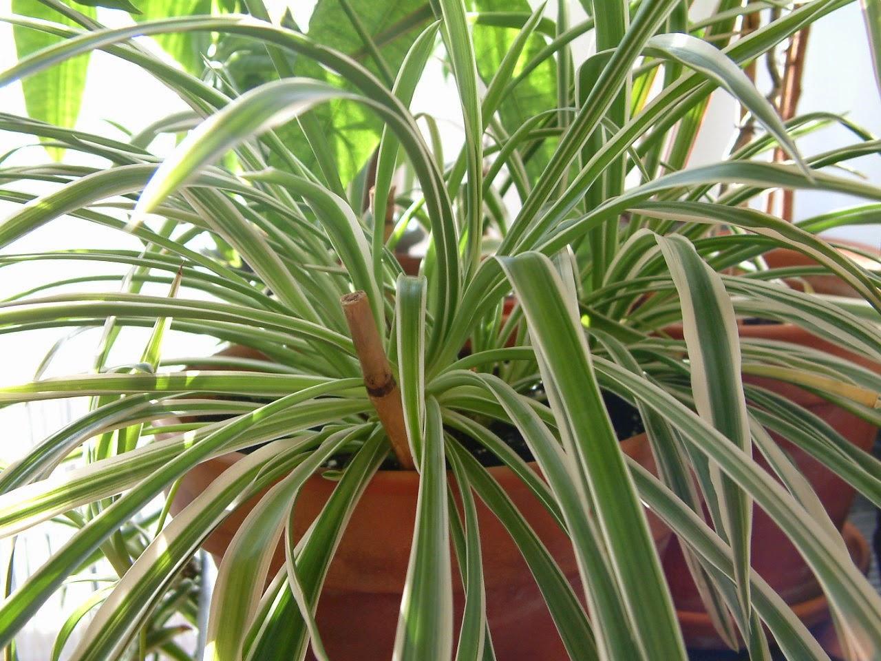 Clorofito - Plantas de interior