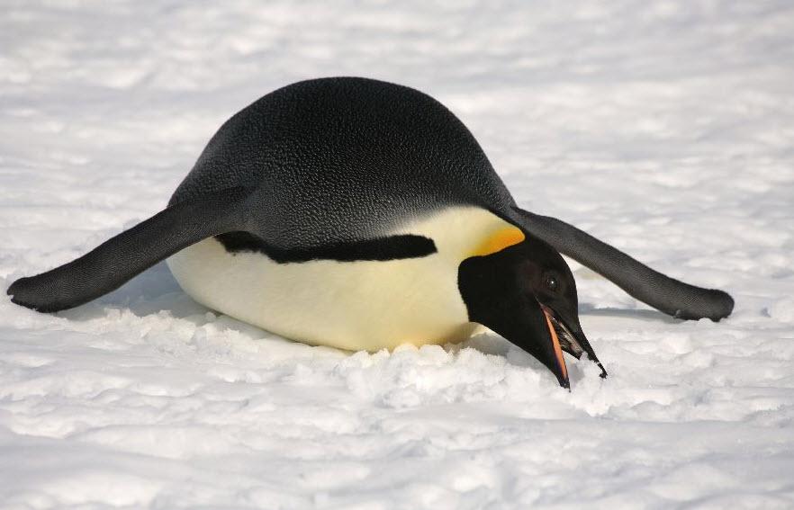Emperor Penguin | The Biggest Animals Kingdom