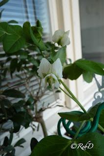 blommande sockerärtsplanta. foto: Reb Dutius