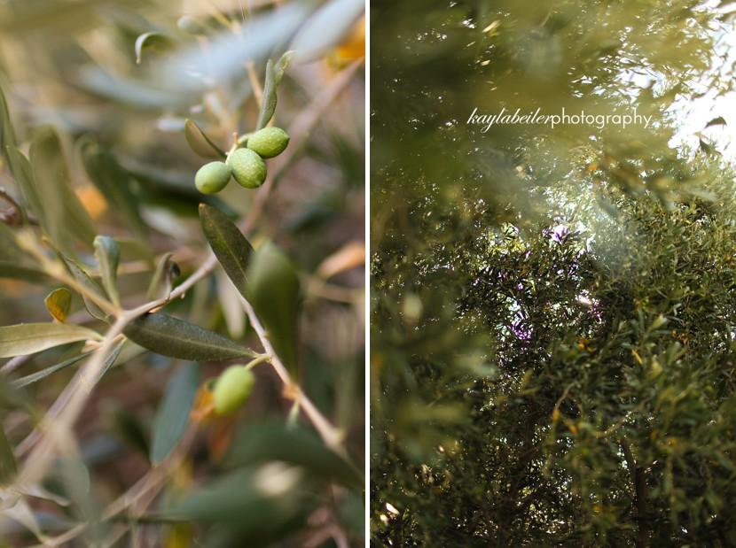 olive tree france photo