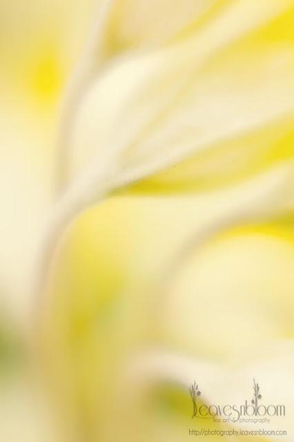 lensbaby blur - soft lemon cowslip stems