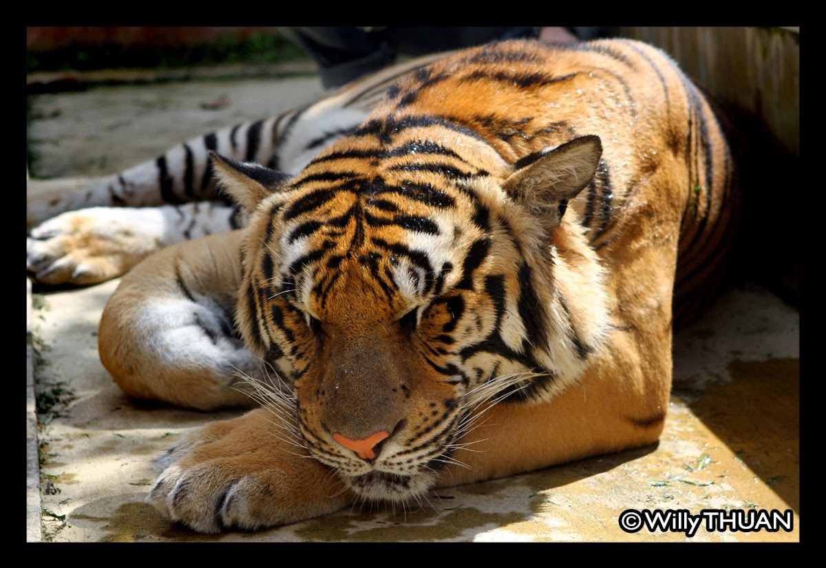 Phuket Tiger Kingdom - Phuket 101