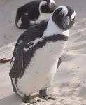 Afrika Pingvin