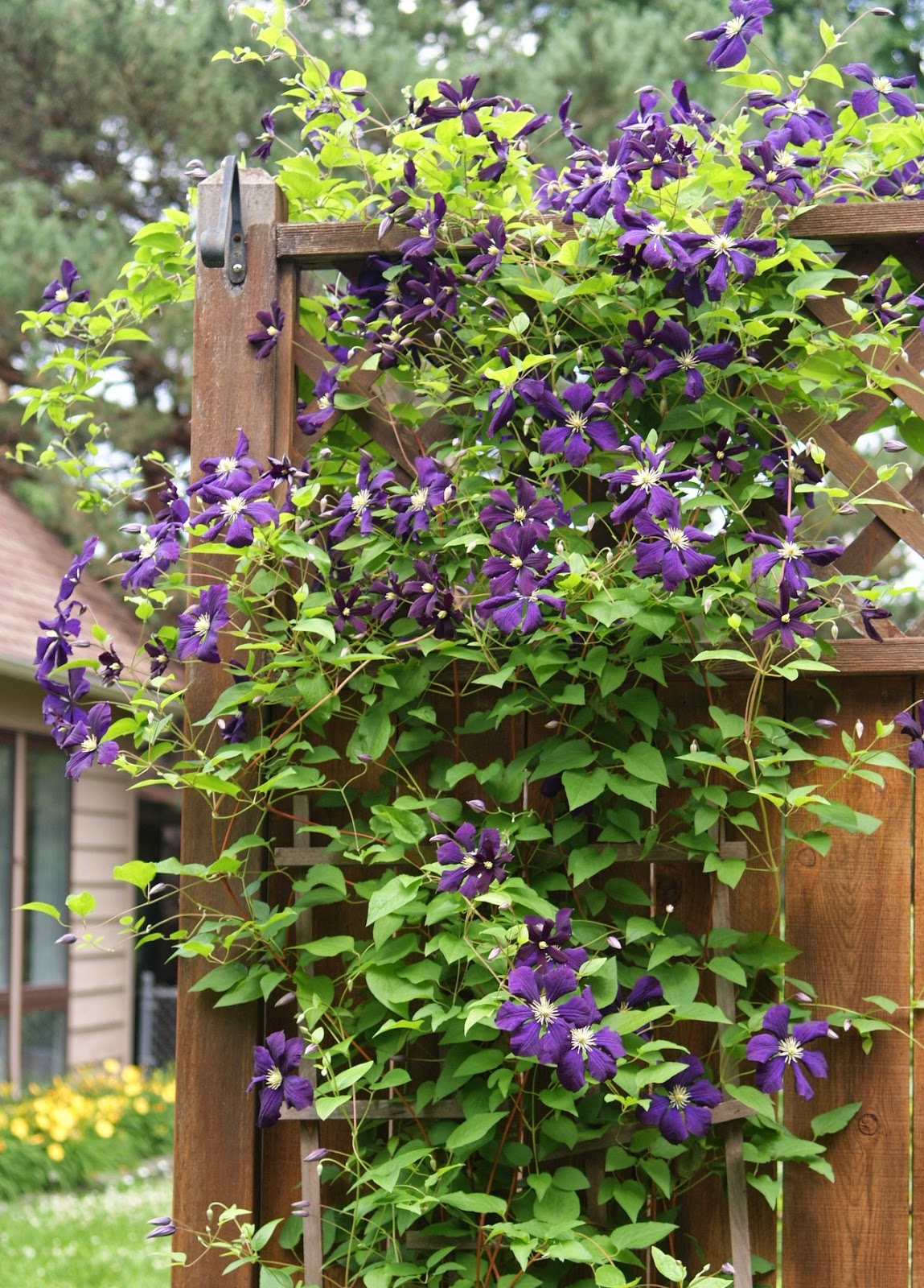 visit my garden rose garden in late summer. Black Bedroom Furniture Sets. Home Design Ideas