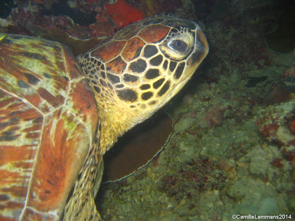 Green turtle, Talisay, Panagsama beach, Moalboal, Philippines