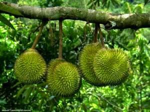 Cara Menanam Durian Montong Manis Dengan Praktis