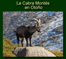 http://iberian-nature.blogspot.com.es/p/ruta-tematica-la-cabra-montes-en-otono.html