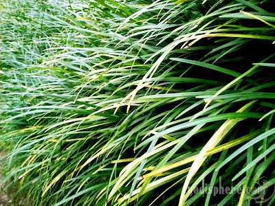 Garden grasses showing different hues of green