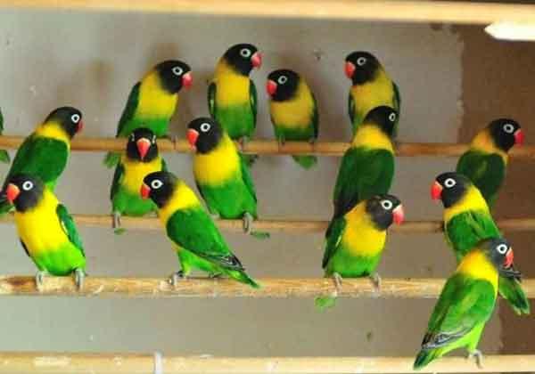 Lovebird Koloni Josan - Aneka Jenis Burung Lovebird