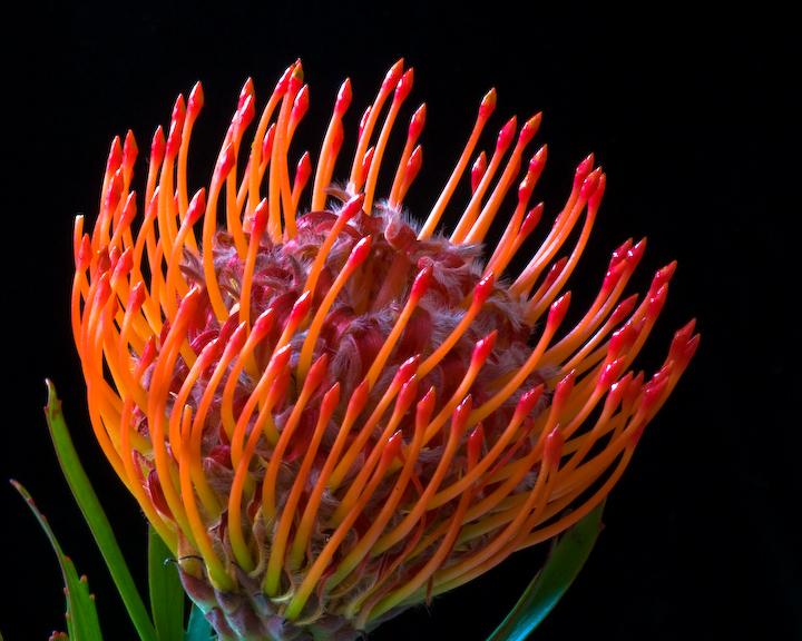 Pincushion Protea flowers for flower lov...
