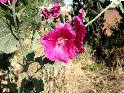 qrendi hollyhocks
