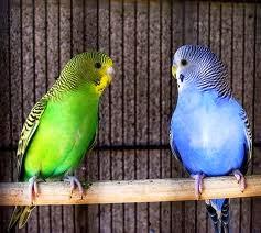 Jenis jenis burung parkit, jenis jenis parkit