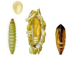 Wax worm دودة الشمع