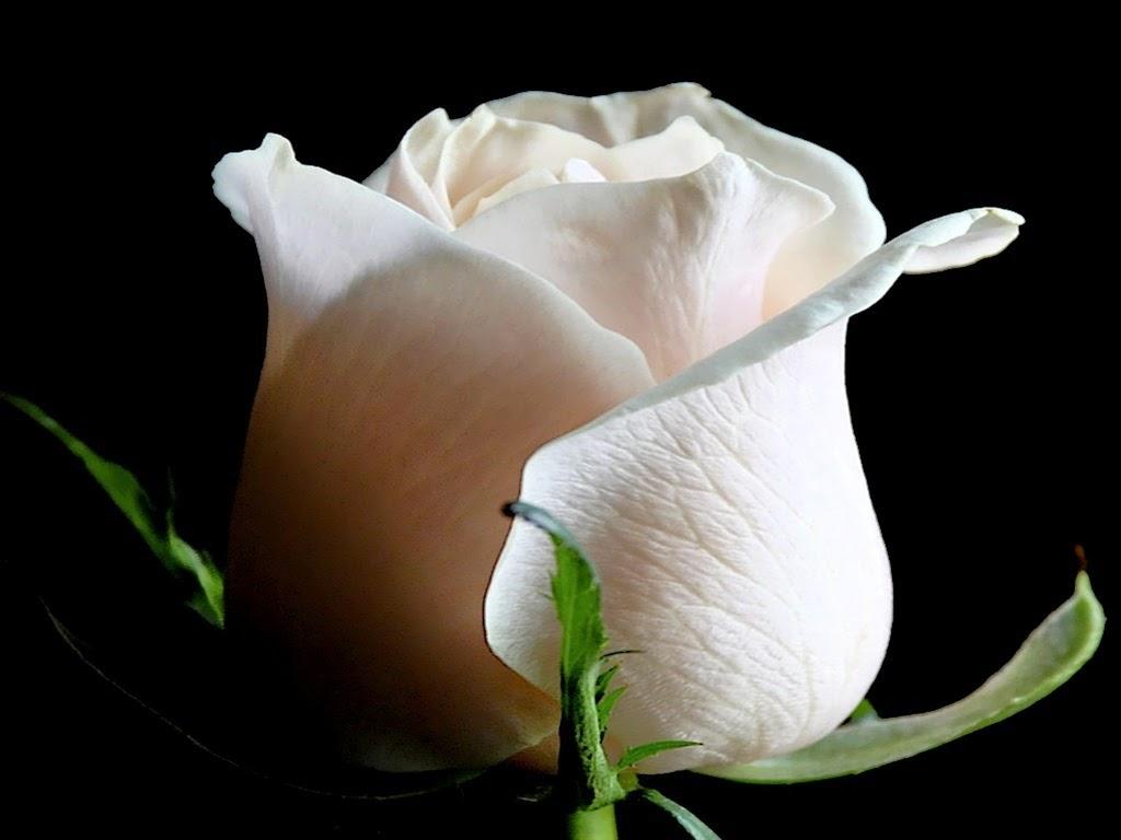 imagenes de rosas blancas y rojas animadas Resultados