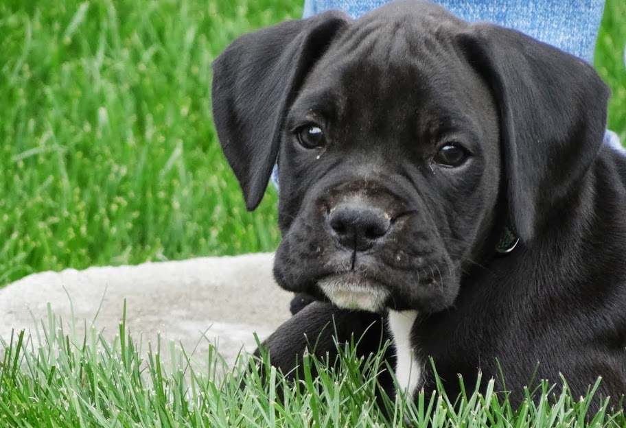 Sealed Brindle Boxer Puppies | Dog Breeds Picture