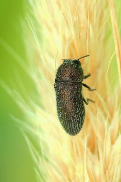 Acmaeoderella vaulogeri