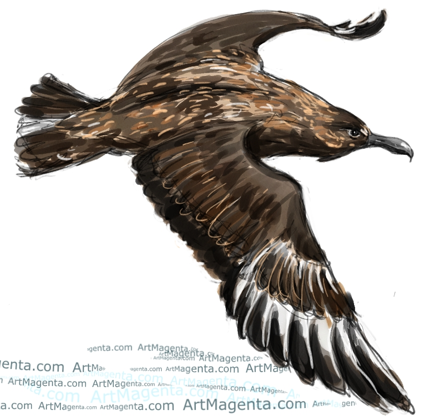 Great Skua sketch painting. Bird art drawing by illustrator Artmagenta