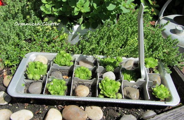 Sempervivum planted in measuring cups