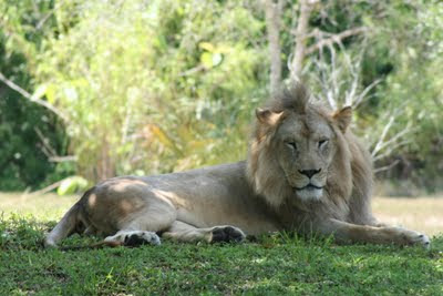 Lion at Zoo Miami