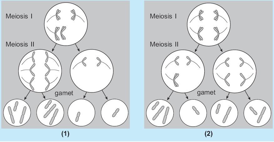 Pengertian mutasi gen dan kromosom biologi penyebab dan contoh mutasi proses nondisjunction ccuart Images