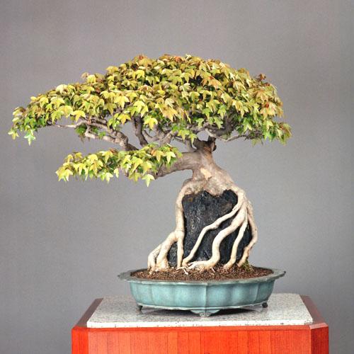 Top unique bonsai trees gallery top champion bonsai trees for Famous bonsai trees