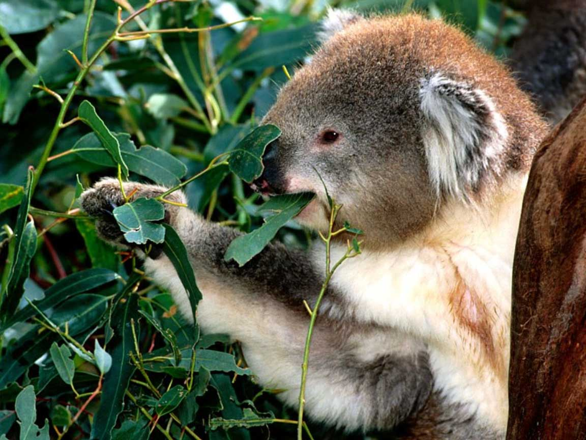 Koala | The Biggest Animals Kingdom