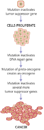 Cancers are caused by a series of mutations. Each mutation alters the behavior of the cell somewhat