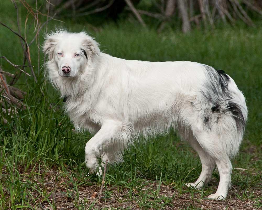 Australian shepherd mix puppies car tuning