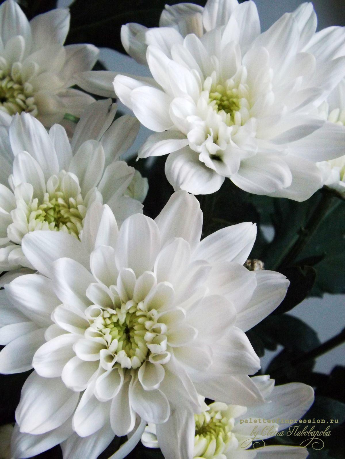 Белая хризантема. Язык цветов, белая хризантема - правда.