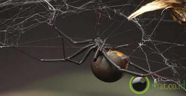Redback Spider ( Laba-laba Punggung Merah)