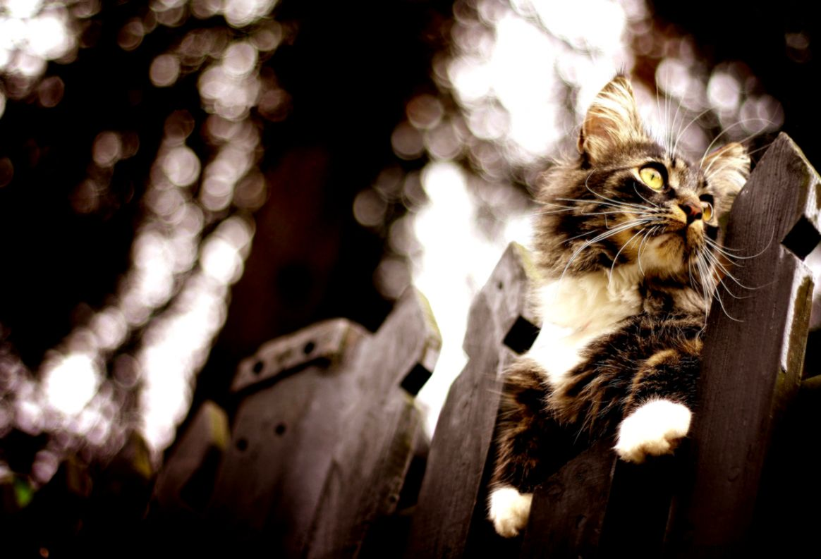 View and download our collection of Maine Coon cat wallpapers