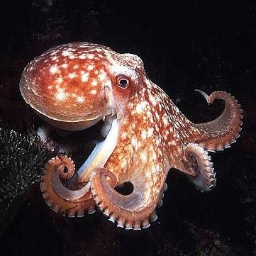 Giant Devilfish Octopus Devilfish Octopus