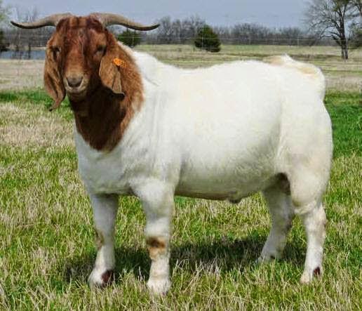 khasiat susu kambing ettawa