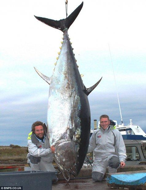 Ikan Tuna Besar