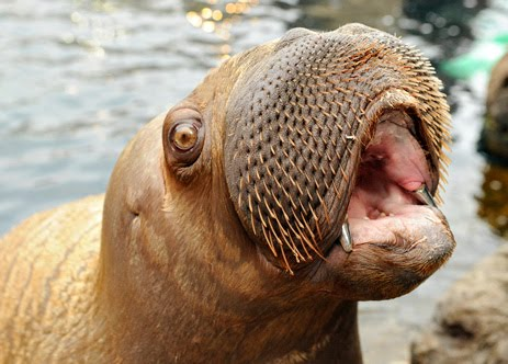 walrus lips